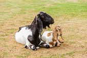pic of baby goat  - Mother and baby goats on the farm  - JPG