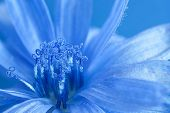 foto of chicory  - close up blue chicory and its pollen - JPG