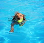 stock photo of pool ball  -  a labrador or golden retriever with a tennis ball swimming in a local public pool  - JPG