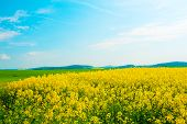 image of rape  - Beautiful rural landscape of blooming rape fields - JPG