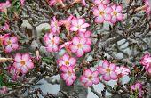 stock photo of desert-rose  - Pink Flower Adenium obesum tree Desert Rose Impala Lily - JPG