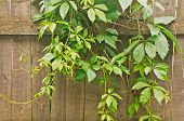 pic of climber plant  - young green climbing plants on old wooden fence - JPG