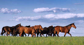 stock photo of fillies  - Herd of horses in the pasture rides on the beautiful background of the sky with clouds - JPG
