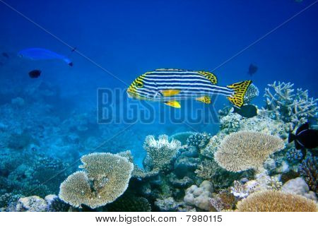 Indian ocean.Fishes in corals