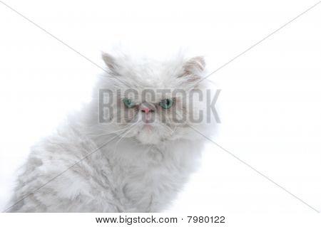 weiße Katze auf weißem Hintergrund