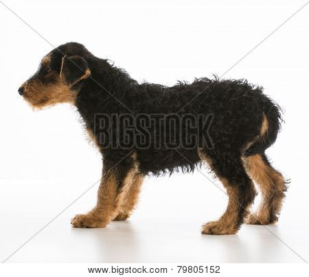 worried puppy - airedale puppy standing with tail between legs on white background