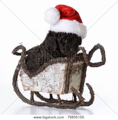 christmas puppy - barbet wearing santa hat sitting in santa sleigh on white background