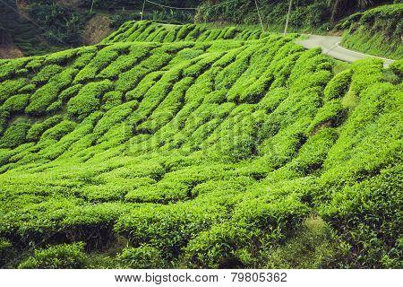 Green Hills Of Tea Planation - Cameron Highlands, Malaysia
