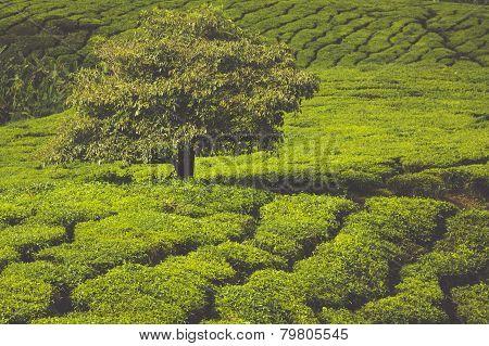 Tea Plantation In The Cameron Highlands, Malaysia