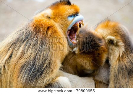 A gloden monkey family hug together with old monkey mouth open