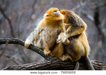 Two golden monkey enjoy catching lice