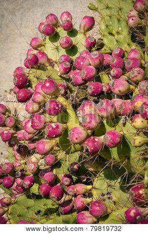 Opuntia Ficus Indica Figs