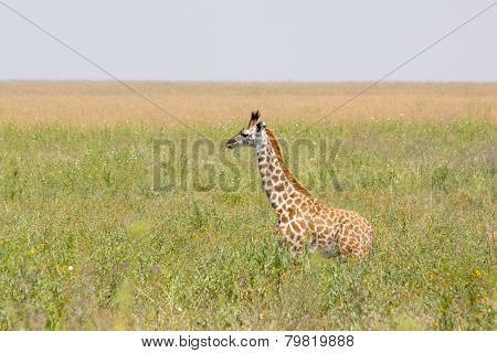 Baby Giraffe In The Grass
