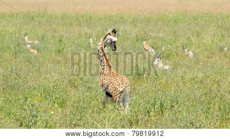 Newborn Giraffe Looking At Gazelles