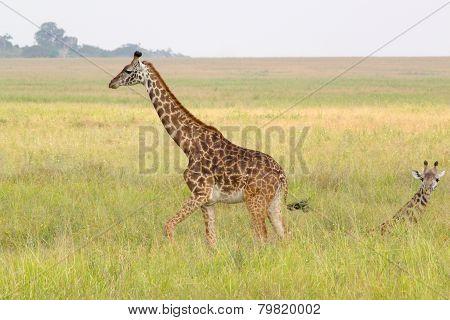 Baby Giraffe Near The Mother