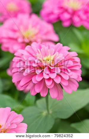 Blossom Pink Zinnia.
