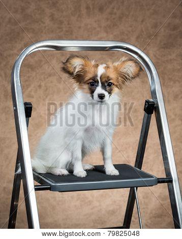 Papillon Puppy Sitting On A Stepladder