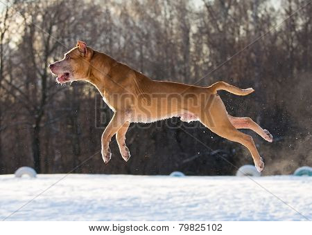 American Pit Bull Terrier Jumping