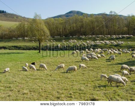 Rural landscape with sheep flock