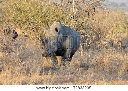 Africa Big Five: White Rhinoceros