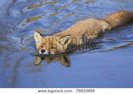 Swimming Red Fox
