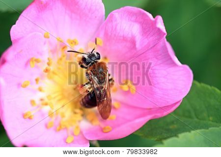 A bee collects nectar.