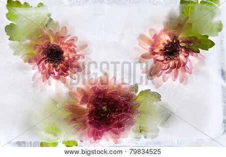 Frozen   Flower Of   Chrysanthemum