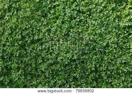 Selaginella, Spike Moss, Lesser Clubmoss