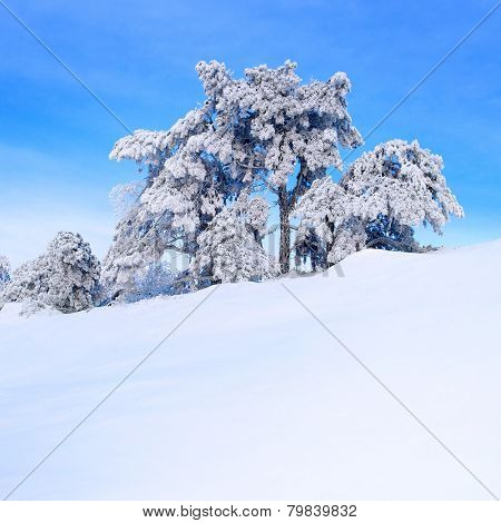 Snow-covered pine tree on a hillside.