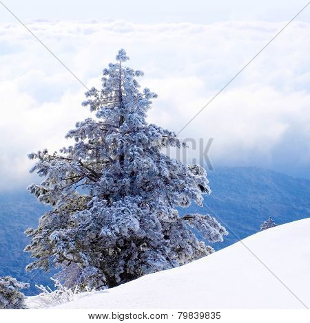 Snow-covered pine tree on a flank of hill.