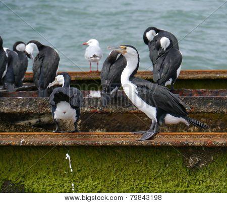 Australian Cormorants