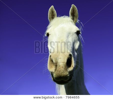 Close Up Of A White Horse Head
