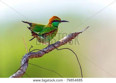 Bee-eater In The Wild On The Island Of Sri Lanka