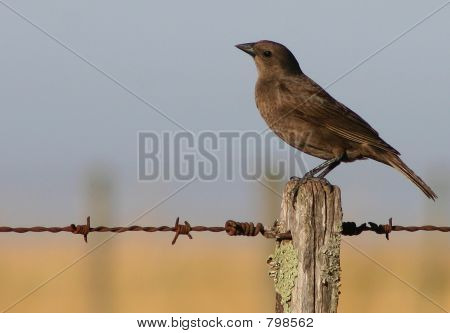 Shiny cowbird (female)