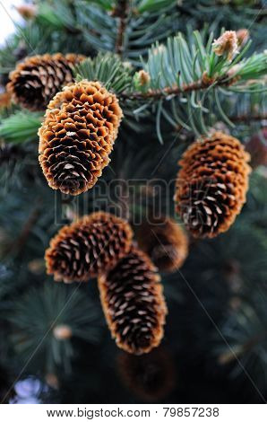 Fir cones on the branch