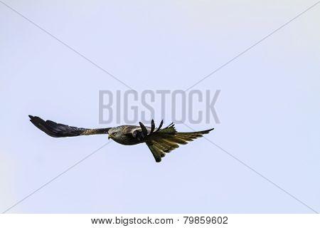 Red Kite (milvus Milvus) Flying