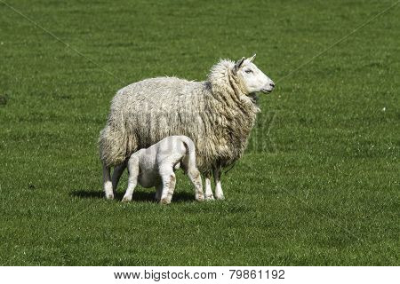Ewe Suckling A Single Lamb