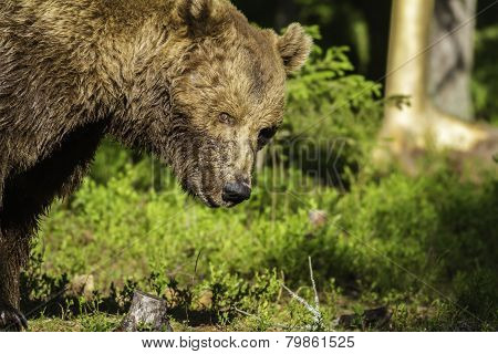 Portrait Of A Male Brown Bear (ursus Arctos)
