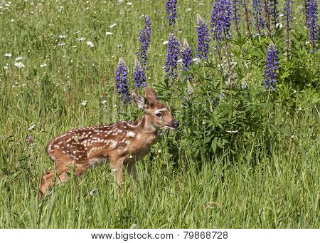 White-tailed Deer Fawn in Lupine