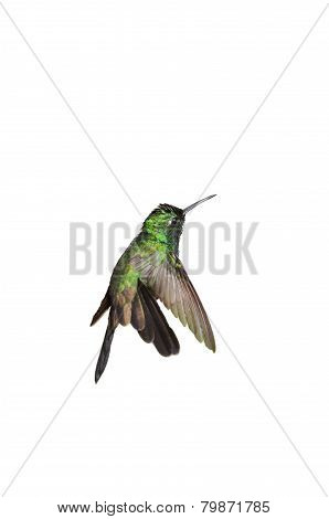 Male Cuban Emerald Hummingbird (chlorostilbon Ricordii) Hovering Motion Isolated On White Background