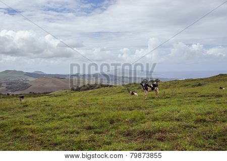 Cow on the Isla de Pascua. Rapa Nui. Easter Island