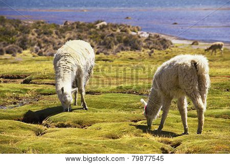 White alpacas graze in Lauca National park, circa Putre, Chile.