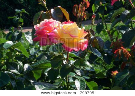 Roses pink and yellow
