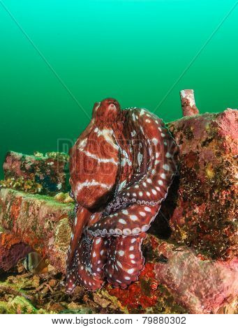 Common Octopus during an algae bloom