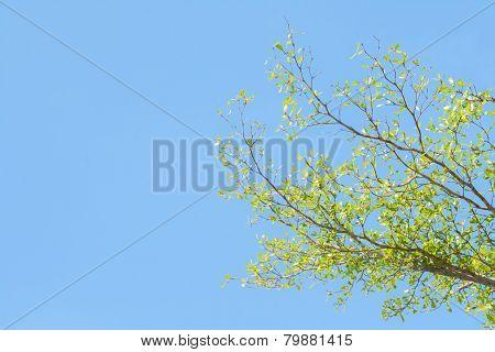 Tree Brunch On Blue Sky
