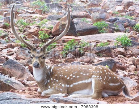 Cheetal deer(Axis axis) with rocky surroundings from Thirupathi