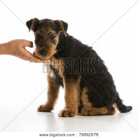 hand holding chin of airedale terrier puppy on white background