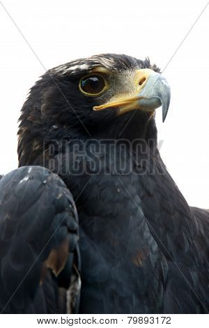 Black Eagle Or Verreaux's Eagle Portrait