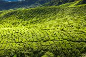 pic of cameron highland  - Landscape with tea plantation Cameron highlands Malaysia - JPG