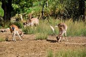 pic of deer family  - Deer looking for food in the woods